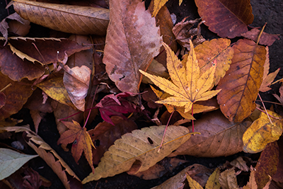 Closeup image of fall leaves.