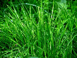closeup image of turf grass.